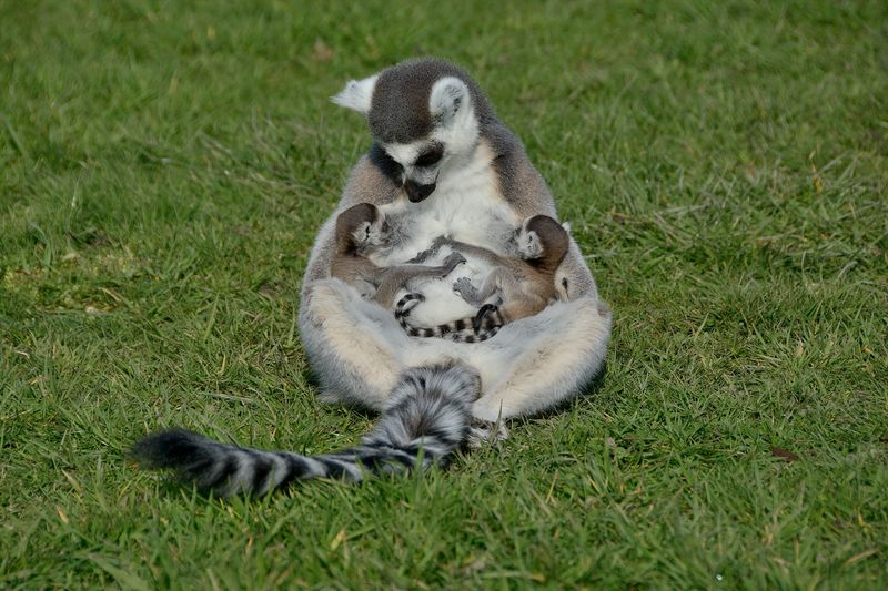 Ring tailed lemur mum Hasina with her twins at Longleat two