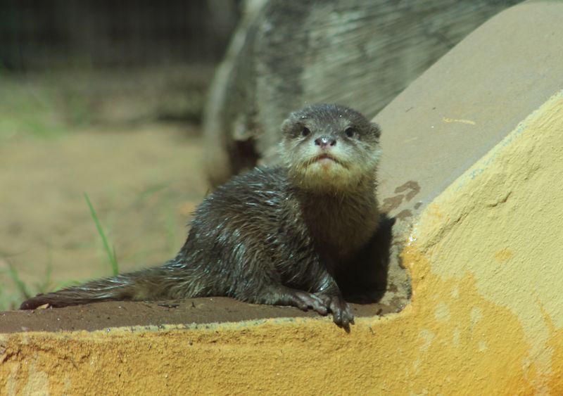 Otter pup_MQ_9.4.14