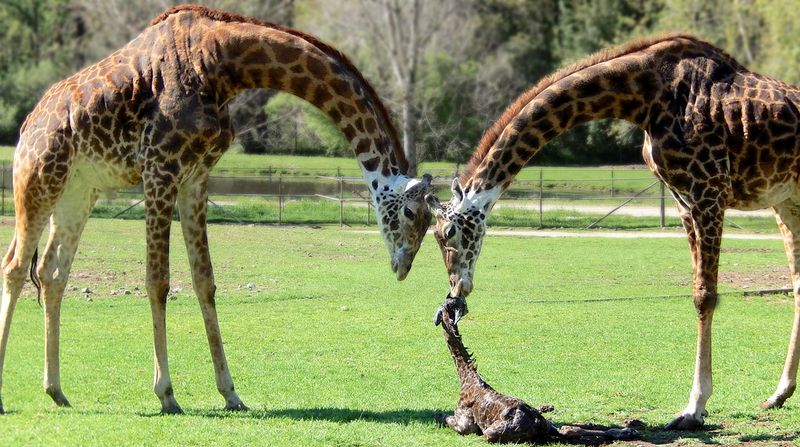Masai Giraffe Calf Tumbles Into The World Zooborns