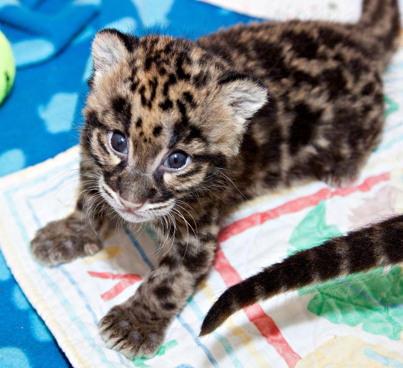 Clouded_leopard_cubs_on_exhbit03
