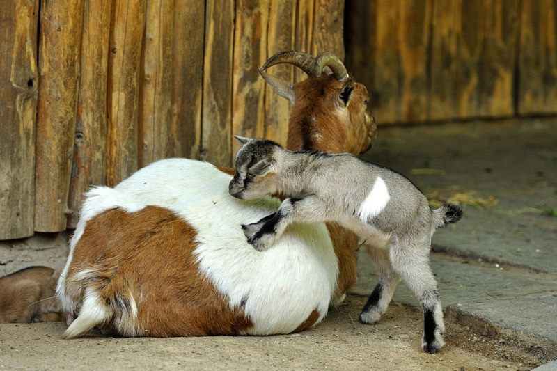 6 goat
