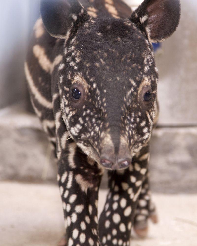 3 tapir