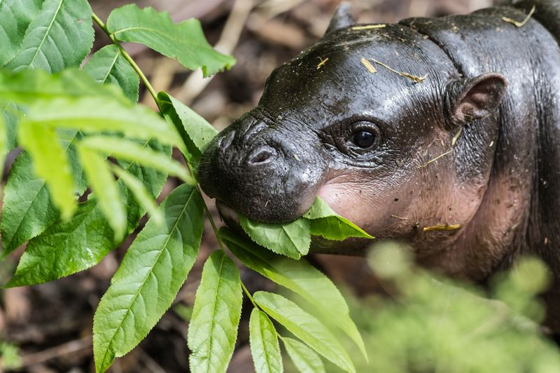 5 hippo
