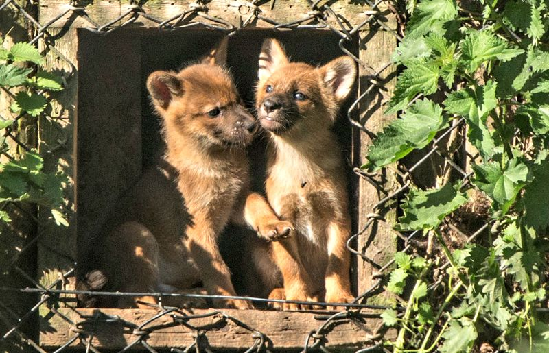 Dhole puppies at Howletts Wild Animal Park c Dave Rolfe