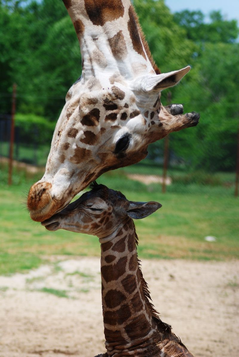Hi, Mom! Baby Giraffe Born at Dickerson Park Zoo - ZooBorns