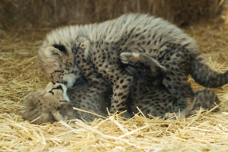 Gepard_12_TGS_Zupanc