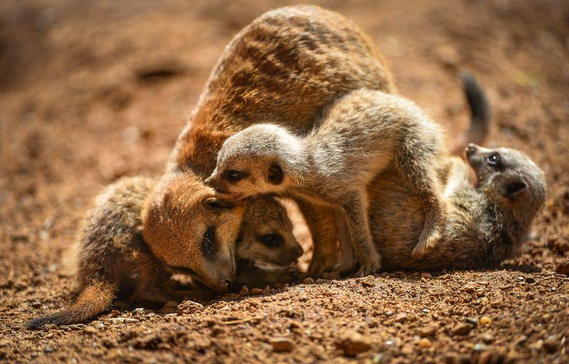 Meerkats-14