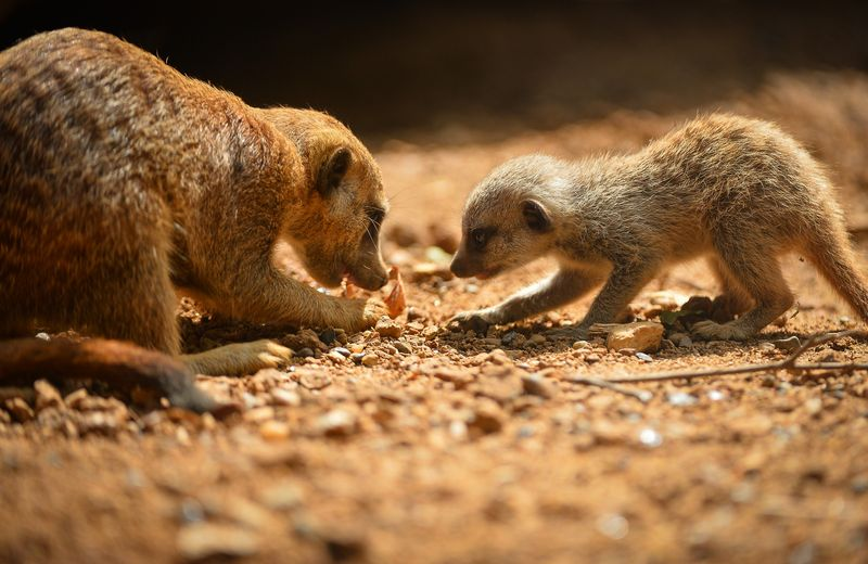 Meerkats-18