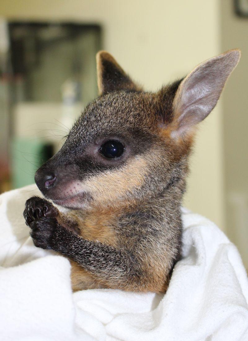 Swamp Wallaby joey 3 June 2014 (3)CROP