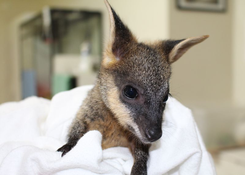 Swamp Wallaby joey 3 June 2014 (40)crop
