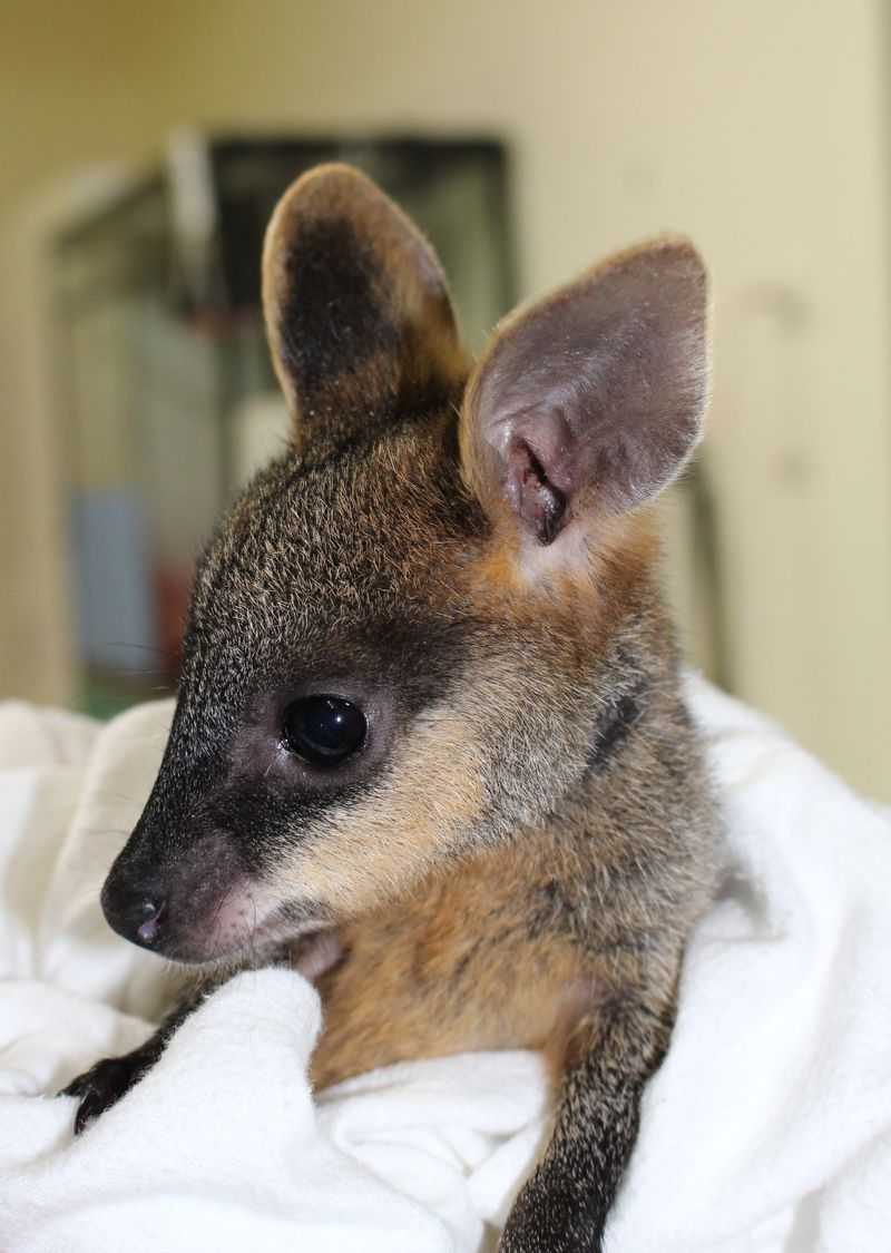Swamp Wallaby joey 3 June 2014 (43)crop