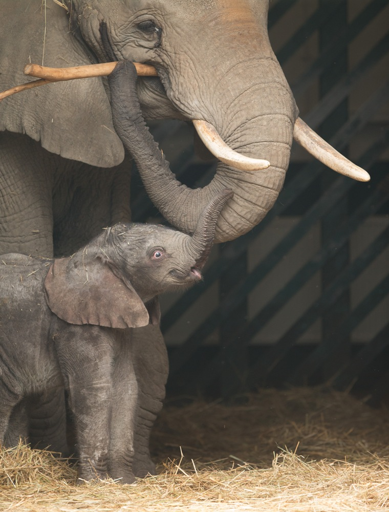 Baby elephant at Howletts Wild Animal Park c Dave Rolfe 1