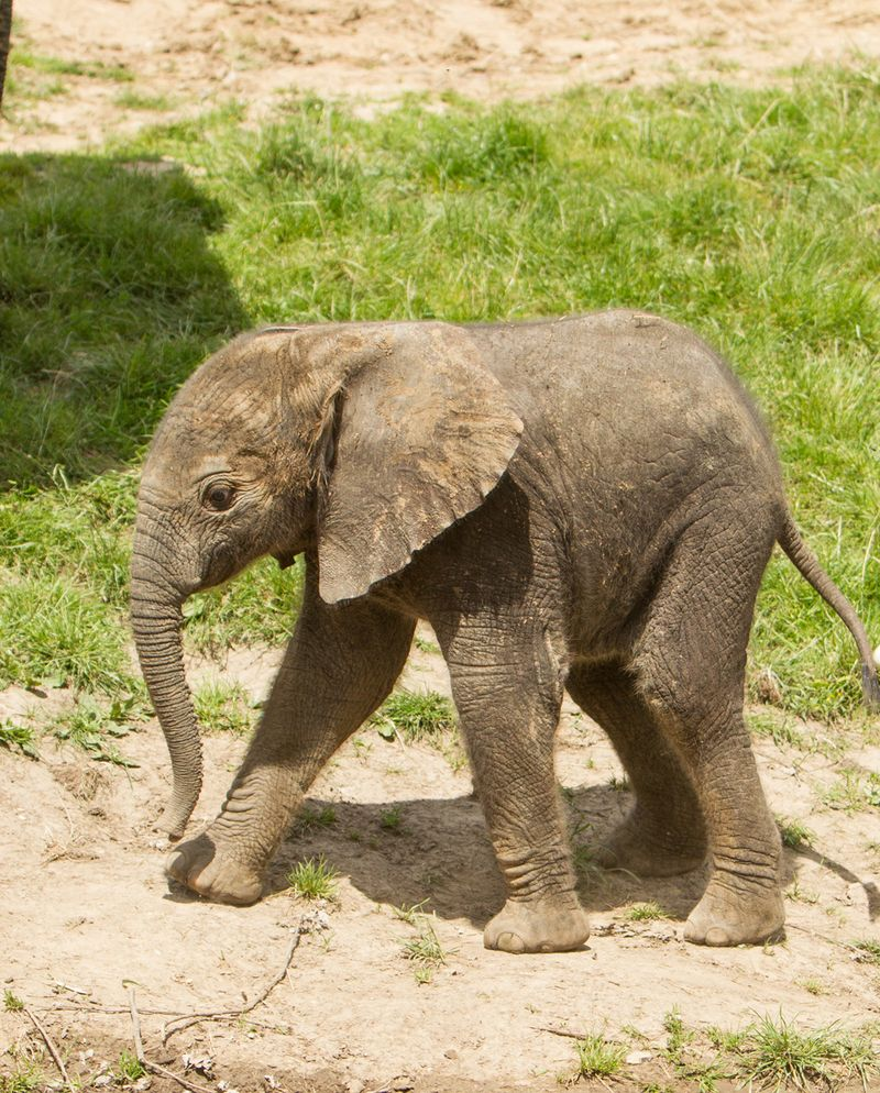 Baby elephant at Howletts Wild Animal Park c Dave Rolfe 2