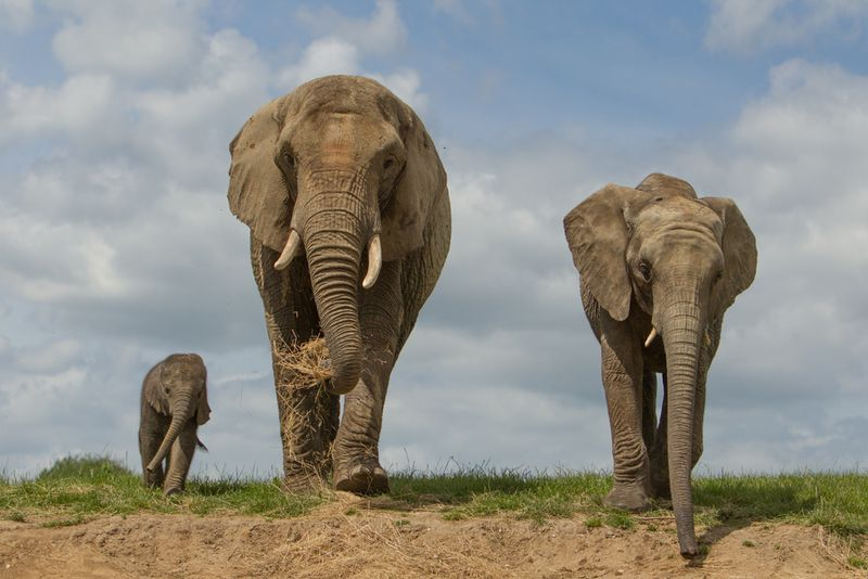 Elephants Animal Animals Calf: Baby Elephant Makes Public Debut At Howletts Wild Animal