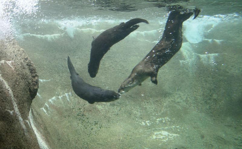 Whisker and Pups Swimming - Jennie Miller (1)