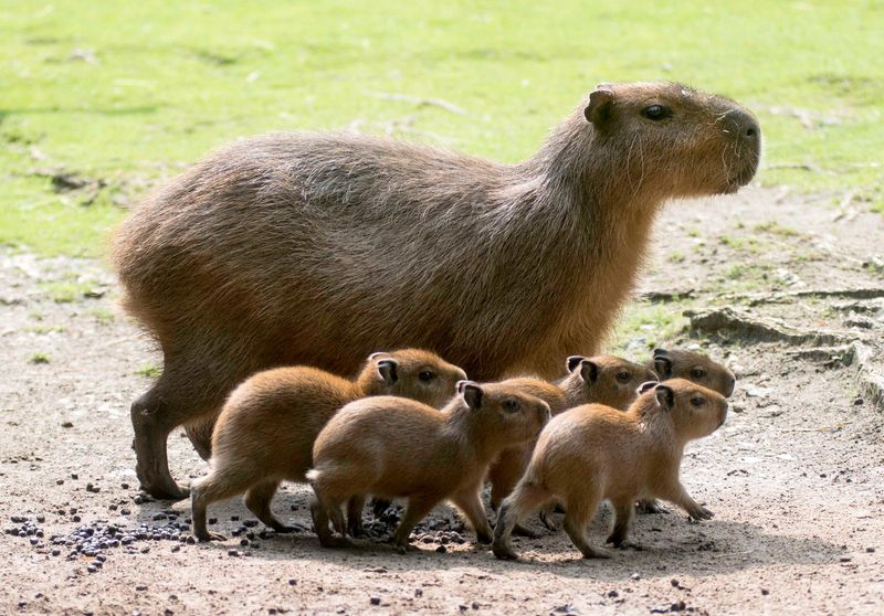 Capybara_Zoo Berlin_1