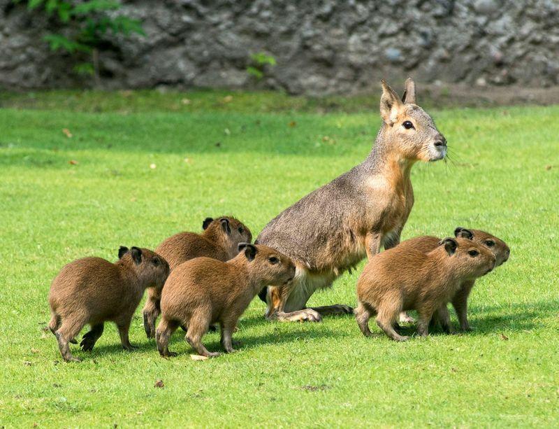 Capybara_Zoo Berlin_3