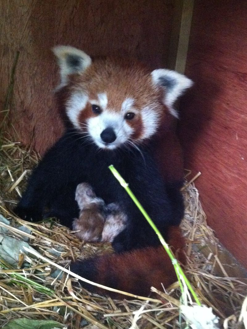 Mulan with the red panda babies