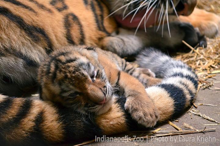 Tiger cub_Indianapolis Zoo_1