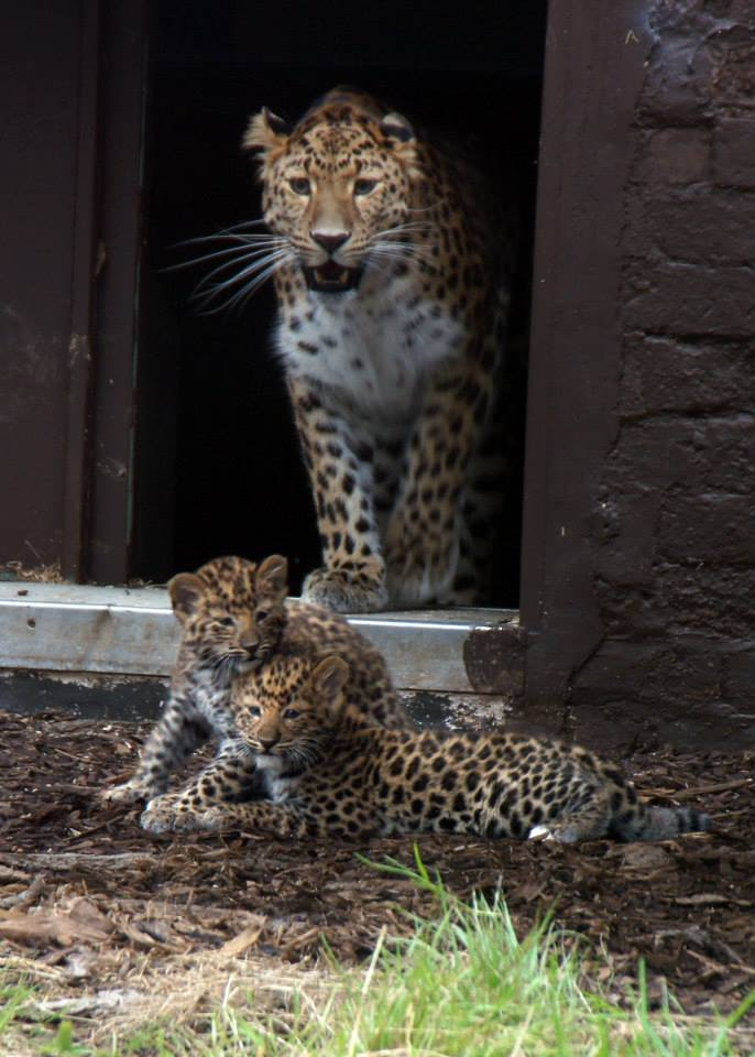 Amur Leopards_Twycross_1