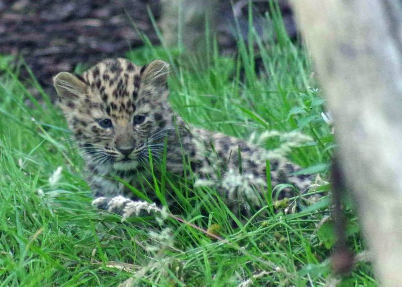 Amur Leopards_Twycross_4