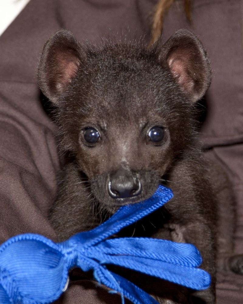 Spotted_hyena_pup_1