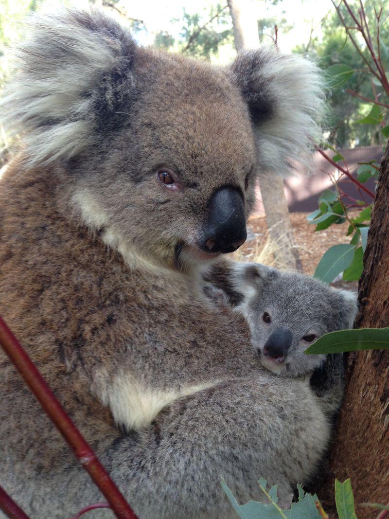 Koala joey_2