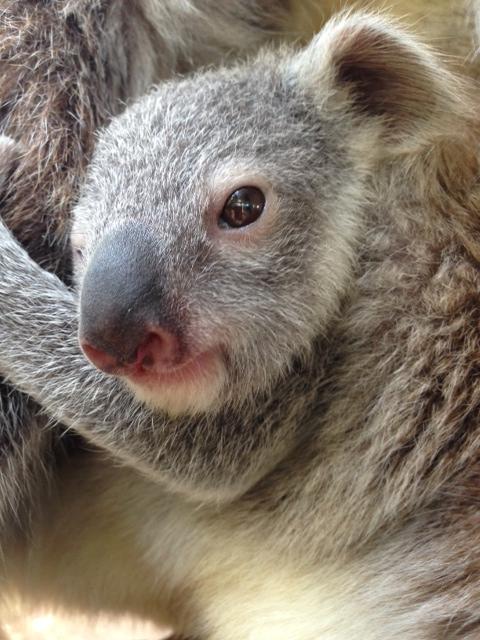 Koala joey_6