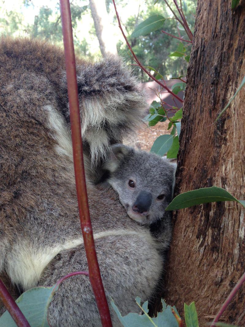 Koala joey_4