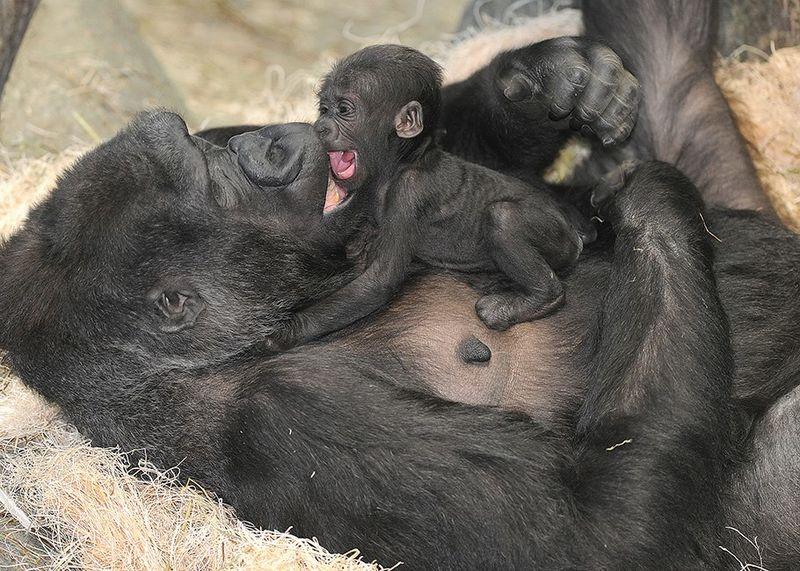 3 gorilla