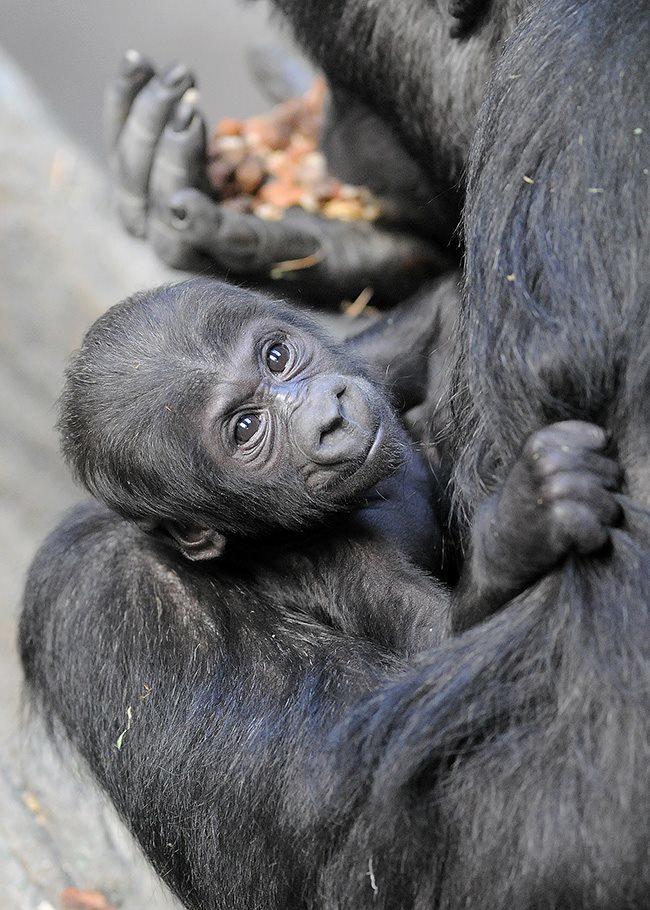 4 gorilla