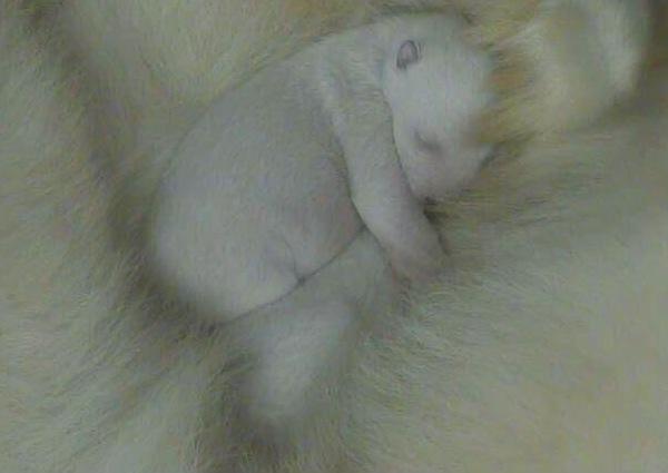 2 polar bear