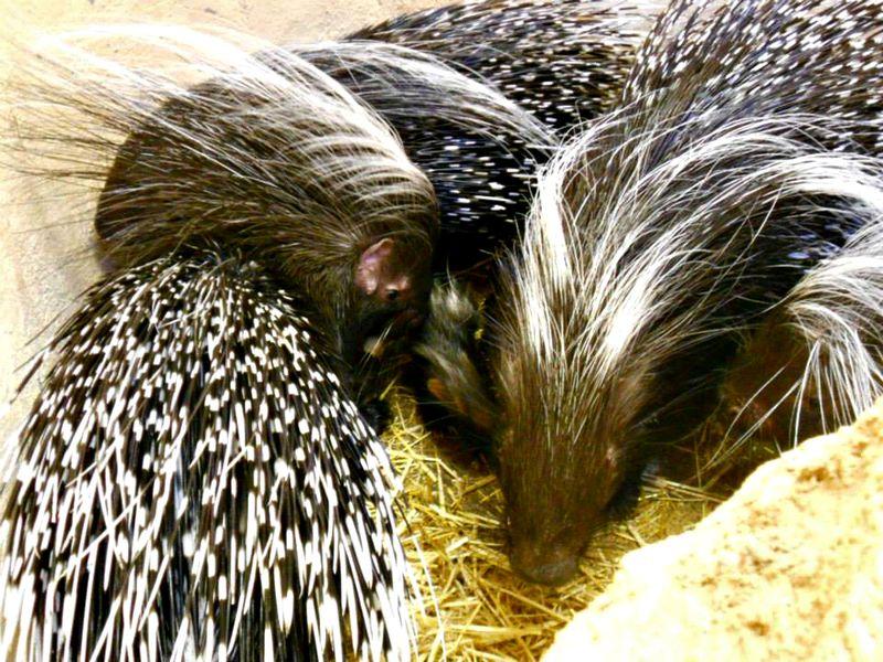 4 porcupine