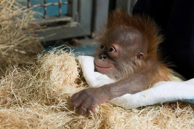 1 orangutan