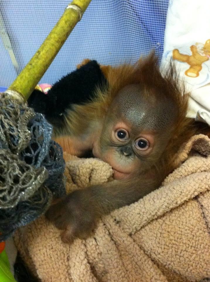 5 orangutan