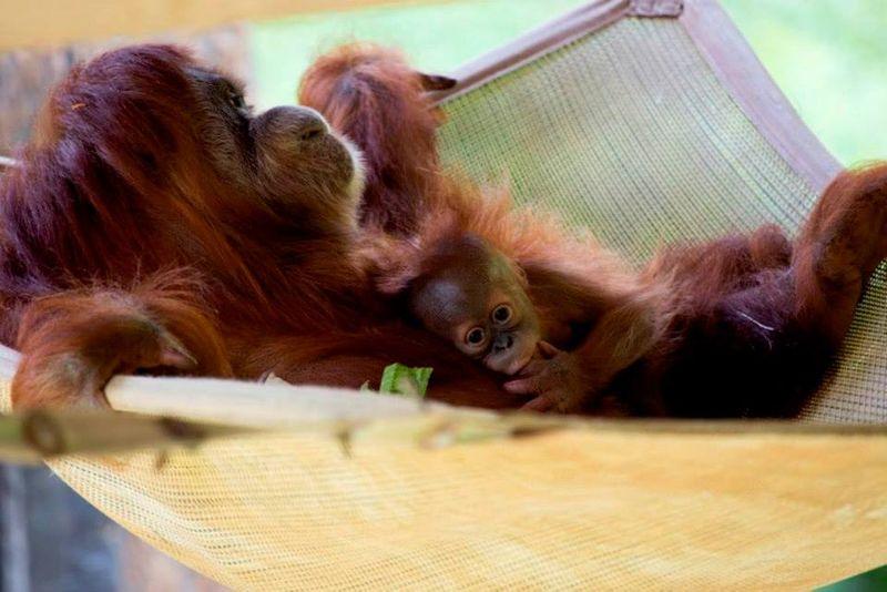 12 orangutan