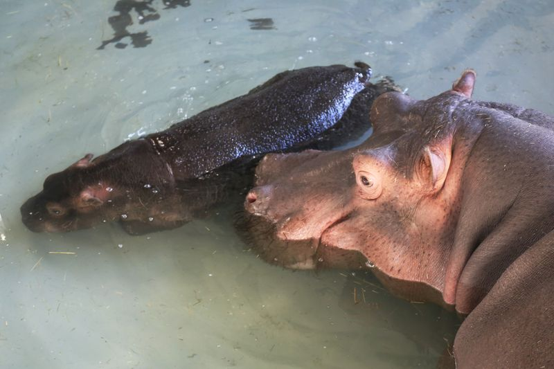 4 hippo