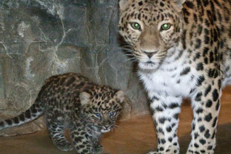 2 leopard