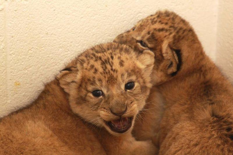 3 lion