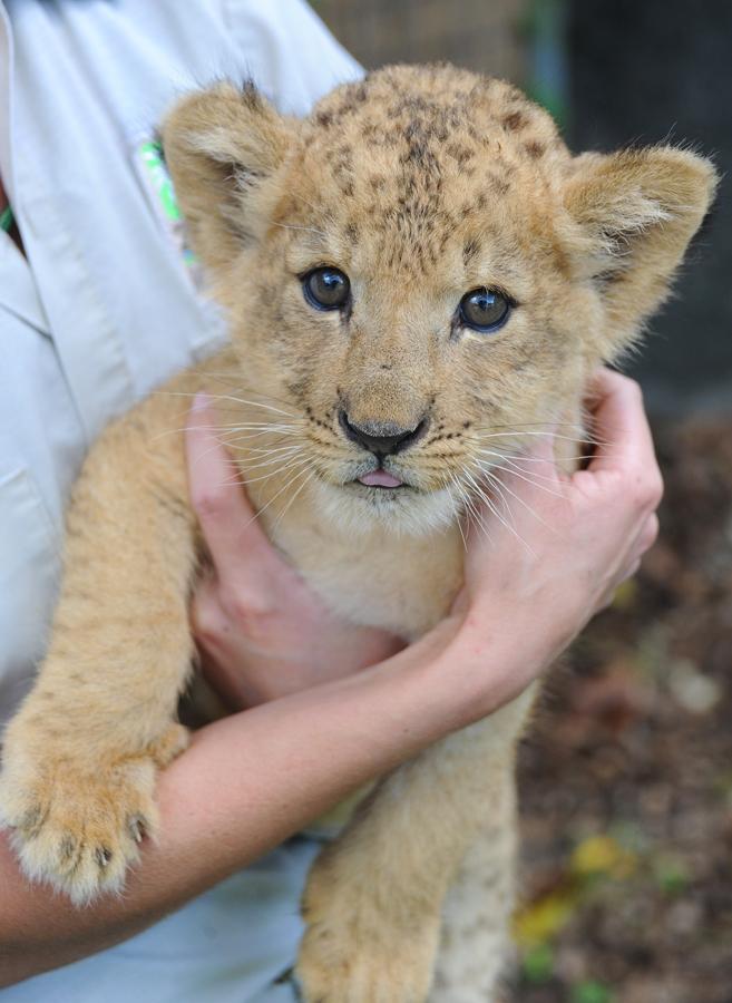 Lion Cub G