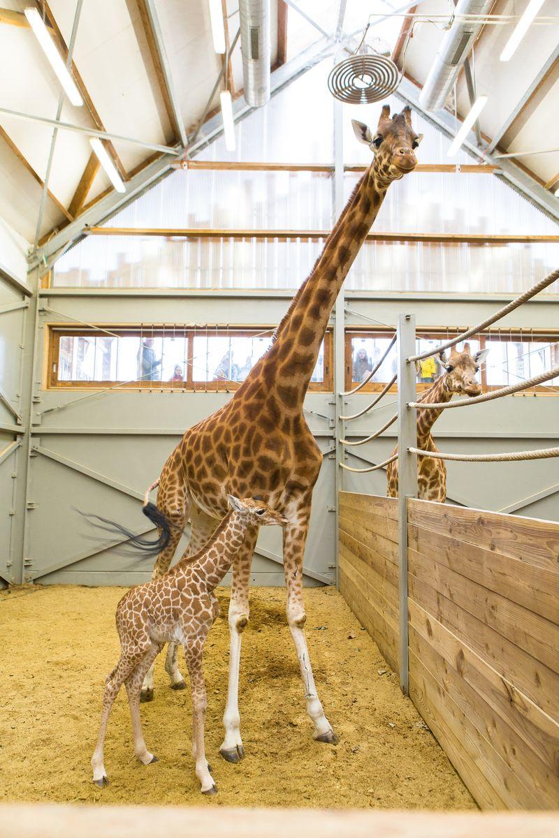 Giraf7