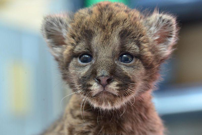 1 panther