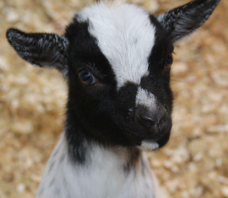 3 goat
