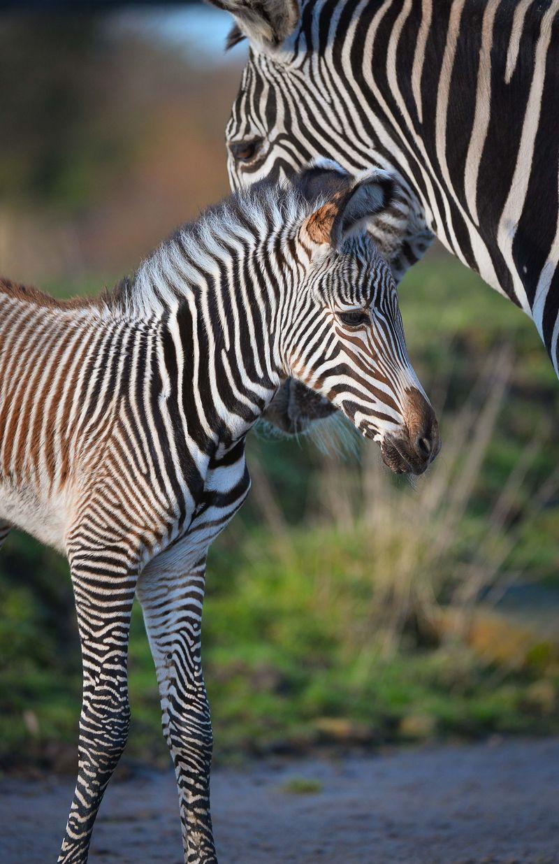 4 zebra