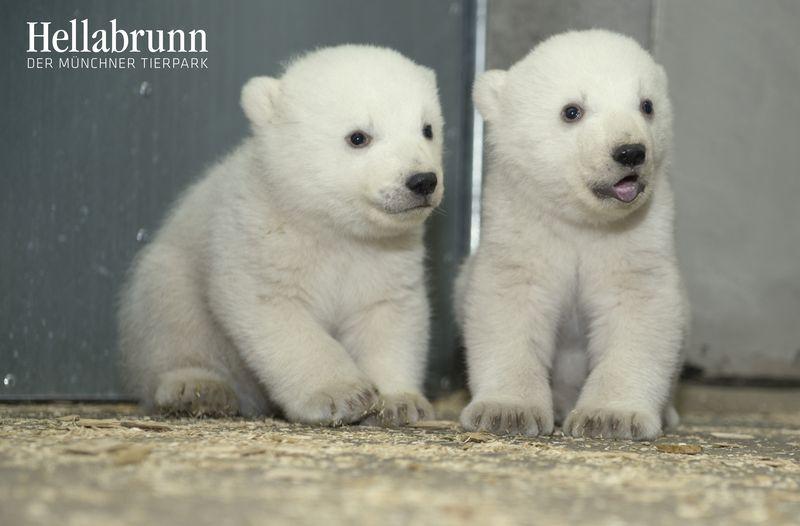 Eisbärenzwillinge_Hellabrunn_2014
