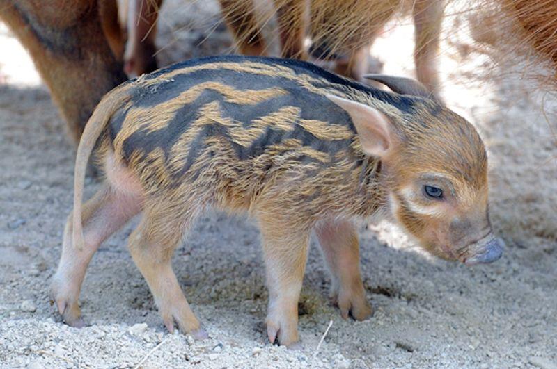 5 hog