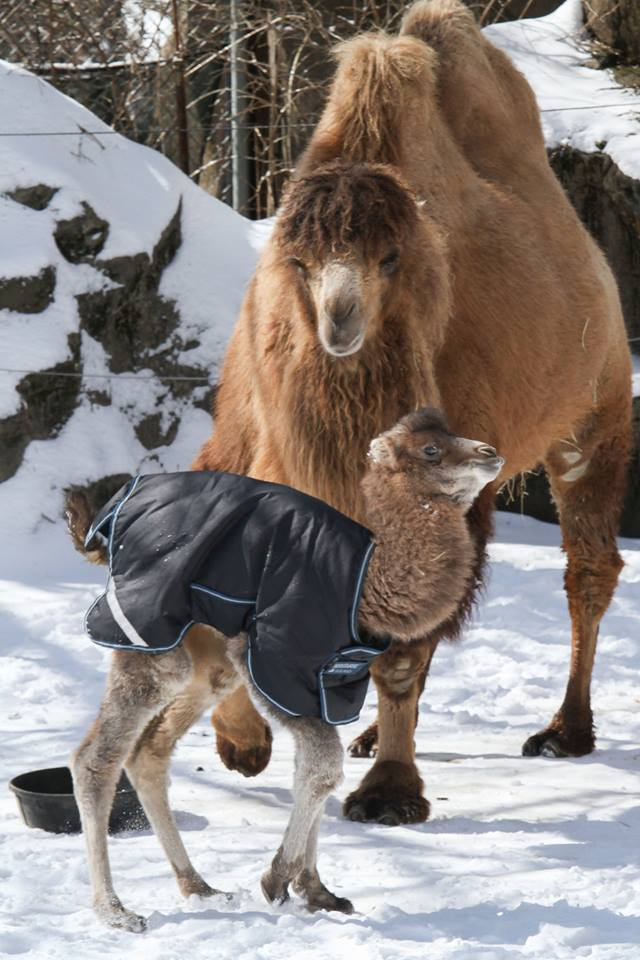 Bactrian Camel Takes His First Steps At Cincinnati Zoo