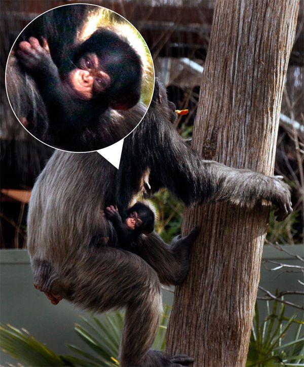 chimpanzee embryos - 600×725