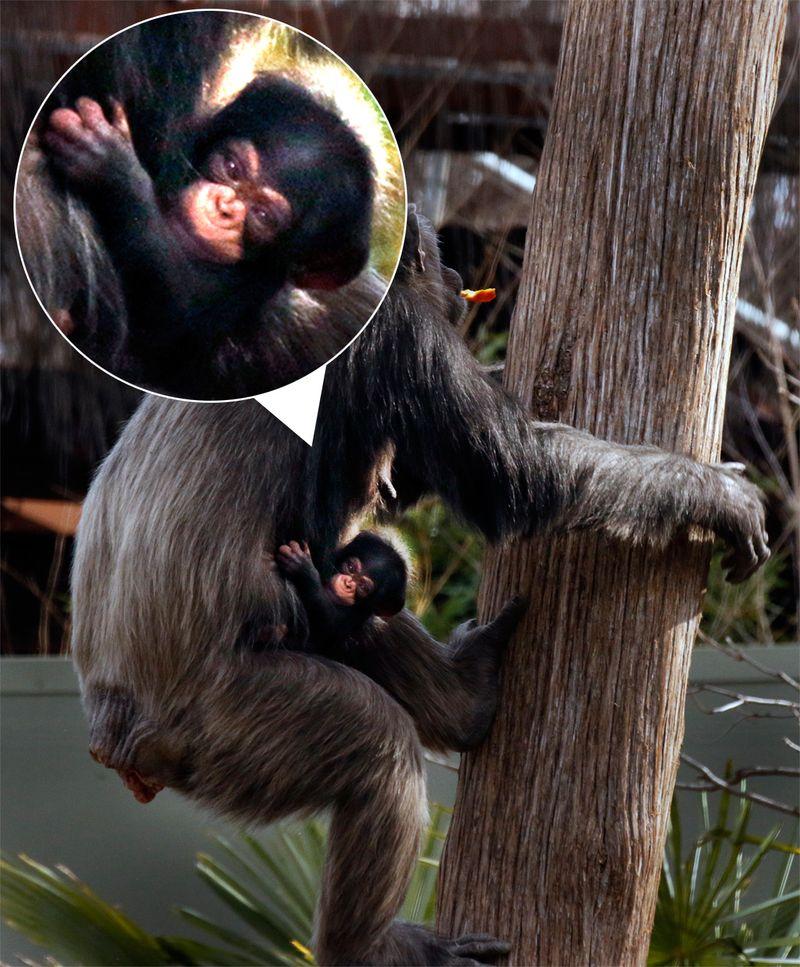 Chimpanzee - ZooBorns