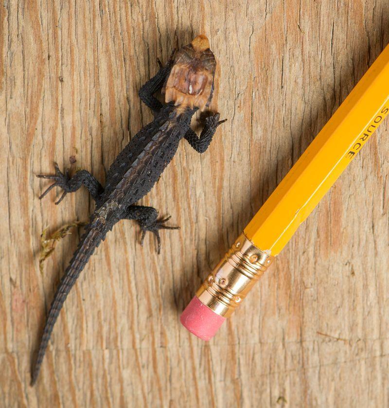Crocodile Skink Fort Wayne Children's Zoo 4